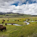 Image Courtesy Neal Herbert CC BY 2.0_Yellowstone NPS